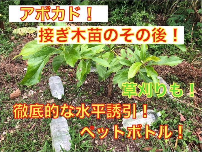 【アボカド栽培20】接ぎ木後の管理!水平誘引をして花芽の誘導!