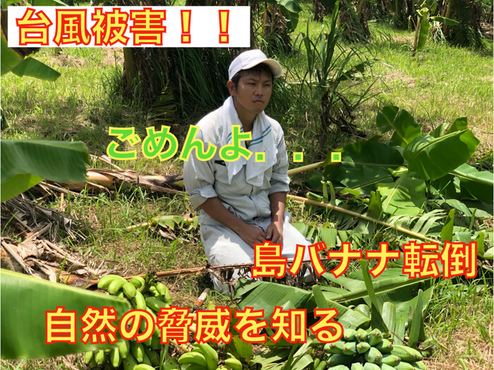 【バナナ栽培4】自然の猛威!台風の被害をご覧ください!