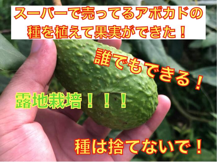 【誰でもできる!】スーパーに売ってるアボカドの種で果実を作る!理屈なども徹底的に解説!!