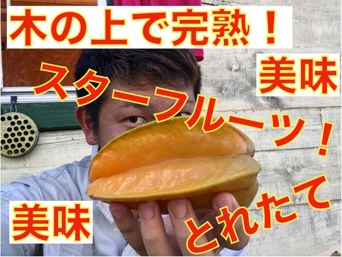 【スターフルーツ栽培4】木の上完熟のスターフルーツを試食!2つの花の違い(短花柱花と長花柱花)を理解する!