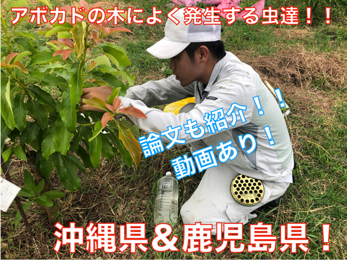 【アボカド栽培21】沖縄県と鹿児島県でアボカドの樹に発生する虫たち!
