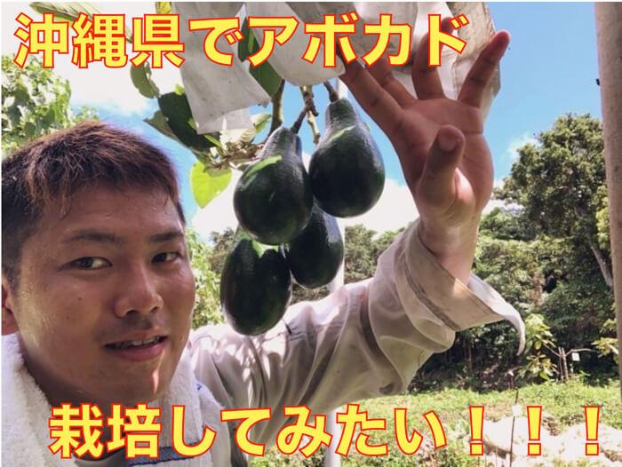 【アボカド栽培23】沖縄県や南西諸島でアボカドを育てる時に気をつけること!