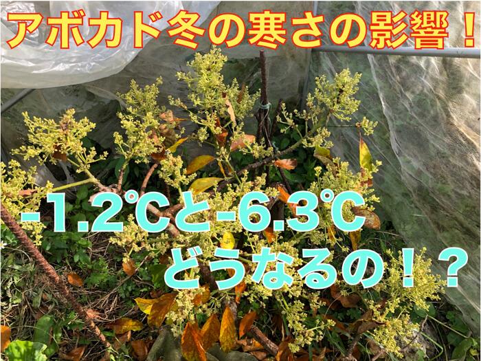 【アボカド栽培24】-1.2℃と-6.3℃の低温の遭遇でアボカドの木はどうなるの?品種別調査!