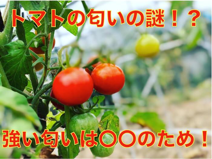 トマトの葉っぱの独特な香りは思いやり!?なぜ葉っぱには強い芳香があるのか!?