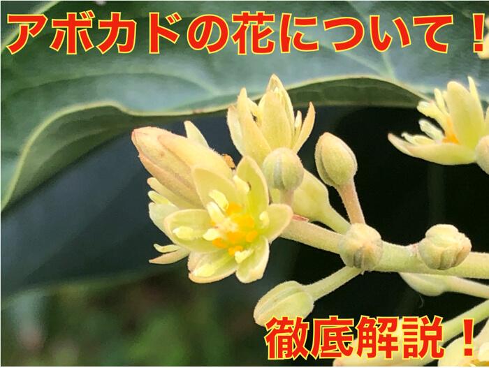 【アボカド栽培25】アボカドの花について徹底的に解説してみる!
