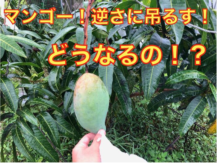 【マンゴー栽培10】マンゴーの果実,逆さに吊るすとどうなるのか?