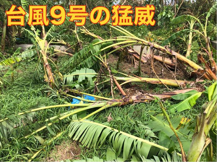 【台風被害】露地栽培!台風による被害の様子!バナナとアボカド!