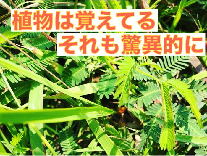 【植物理解2】植物のもつ驚異的な記憶力!オジギソウが葉を畳む2つの理由
