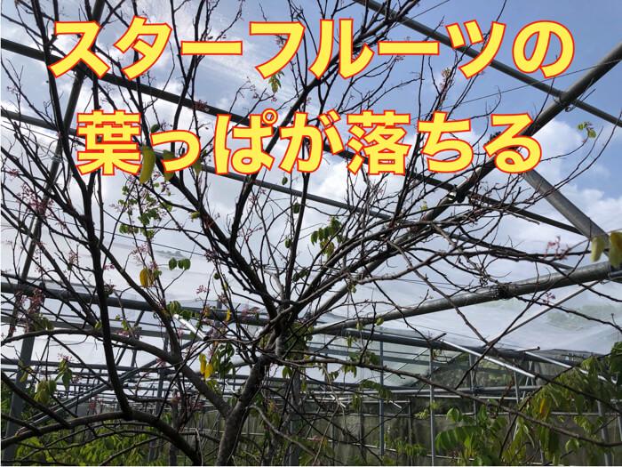 【スターフルーツ栽培5】摘果しました!台風の塩害か!?葉っぱが枯れ落ちました!