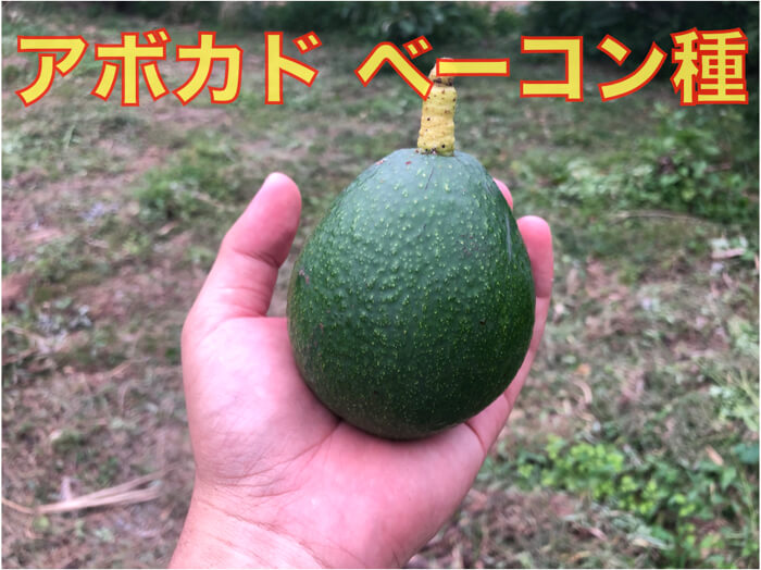 【アボカド】ベーコン種の特徴の解説!実際に育てている木も公開!