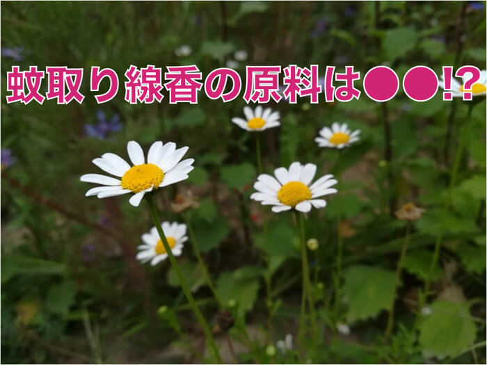 蚊取り線香の原料は〇〇という植物!?植物が出す香りはすごい!