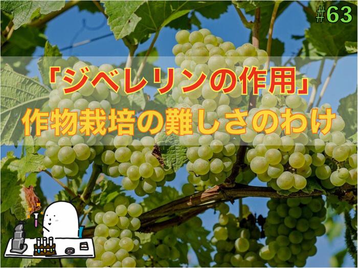 植物ホルモン「ジベレリン」の作用!種無し果物をつくるだけではない!