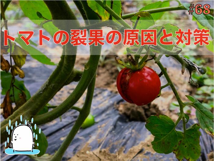 ミニトマト・トマトの果実が割れる原因と対策について!