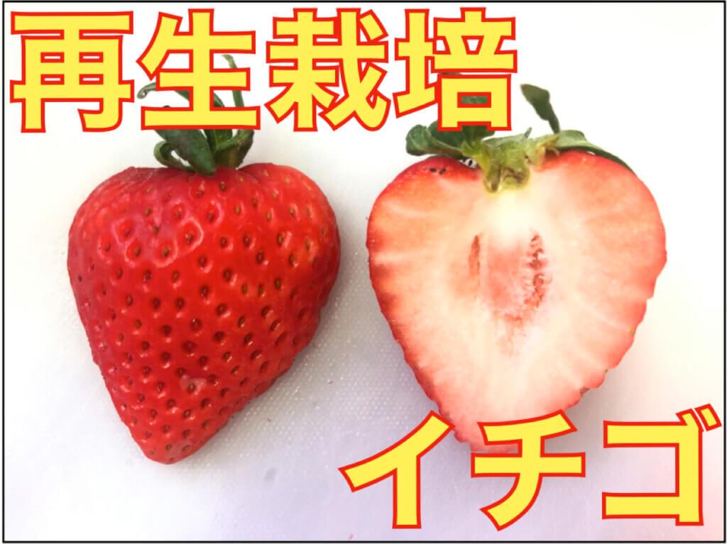 【再生栽培】イチゴの果実から種をとって栽培する方法!イチゴの構造上の豆知識も!発芽させるコツなど!【プロが教える!】