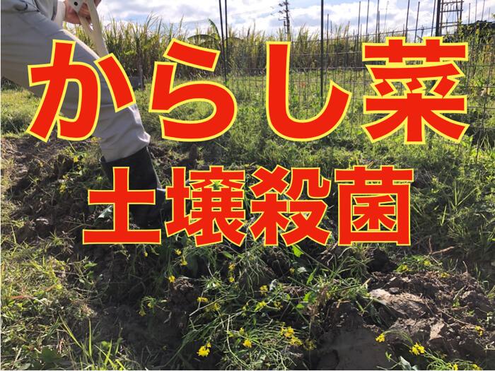 【土壌改良】からし菜の花を土に混ぜると嬉しい効果が!病原体を寄せ付けない!