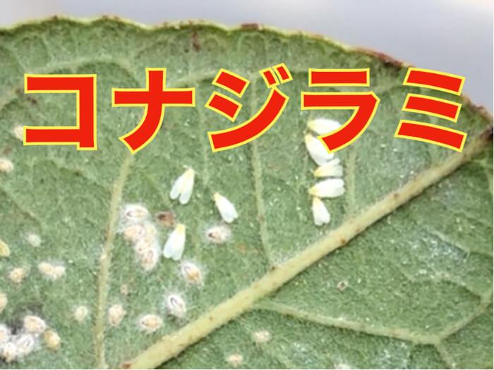 【葉裏につく虫!】コナジラミについての紹介!すす病やウイルスを持ってくるかも!