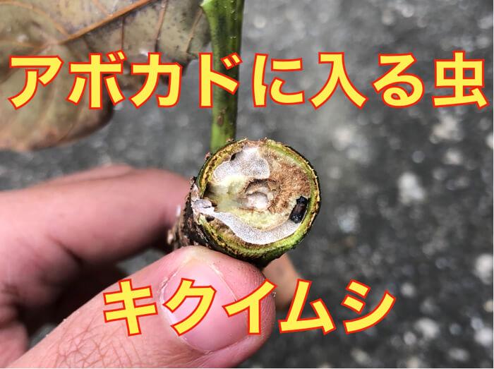 【アボカド栽培26】見つけにくい害虫「キクイムシ」について!木が枯れたら要注意!