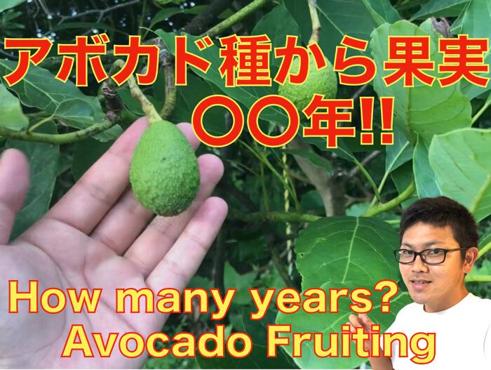 【アボカド栽培27】アボカドは何年で花が咲くのか?そして何年で果実がつくのか?