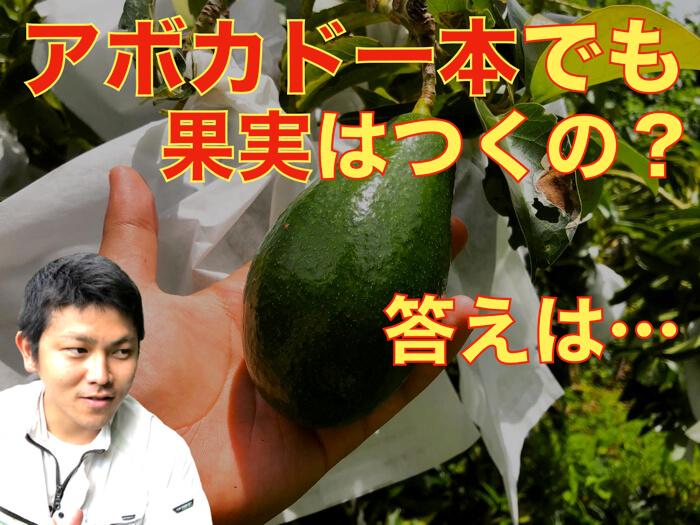 【アボカド栽培30】アボカドは一本でも果実がつくのか!?【動画解説】