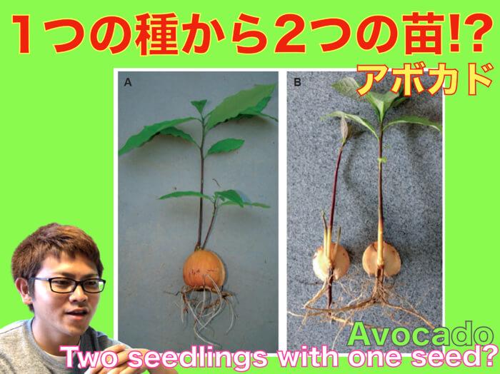【アボカド栽培31】アボカドは,一つの種から二つ(複数)の苗ができるのか?【動画解説!】