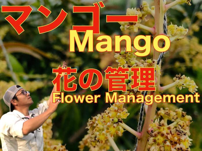 【マンゴー栽培11】花の管理!誘引紐の使い方!【動画解説】