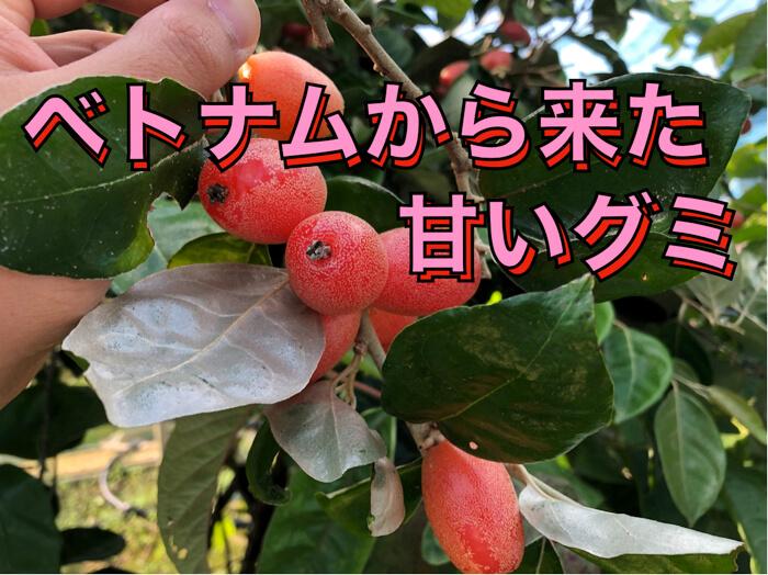 【熱帯果樹】ベトナムから来た甘くて巨大なグミ【動画解説付き!】
