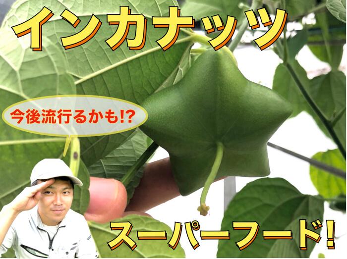【スーパーフード】インカナッツ栽培に付いて!【動画解説付き!】