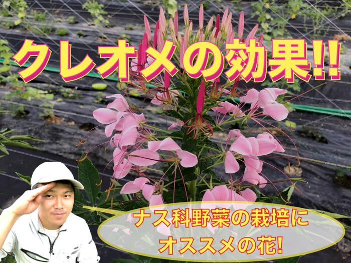 【家庭菜園おすすめ】クレオメ(西洋風蝶草)の活用!益虫を呼ぶ花!