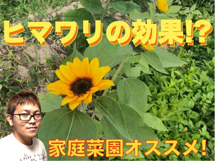 【家庭菜園オススメ】ヒマワリのすごい効果!リン酸を吸収しやすい形にする!【動画解説付き】