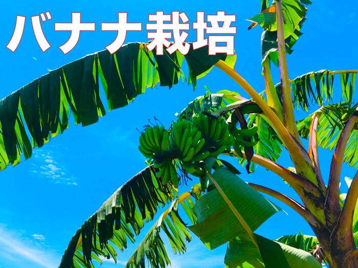 【バナナ栽培5】栽培者が教えるバナナ栽培!育て方!バナナについて!そして今話題な話.病害虫や品種.