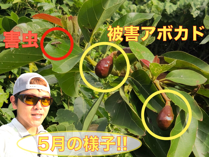 【アボカド栽培33】アボカドの様子!果実の肥大化!袋がけをした!発生する害虫!