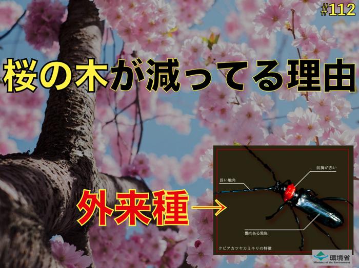 【注意!】桜の木がなくなる前に.クビアカツヤカミキリ.
