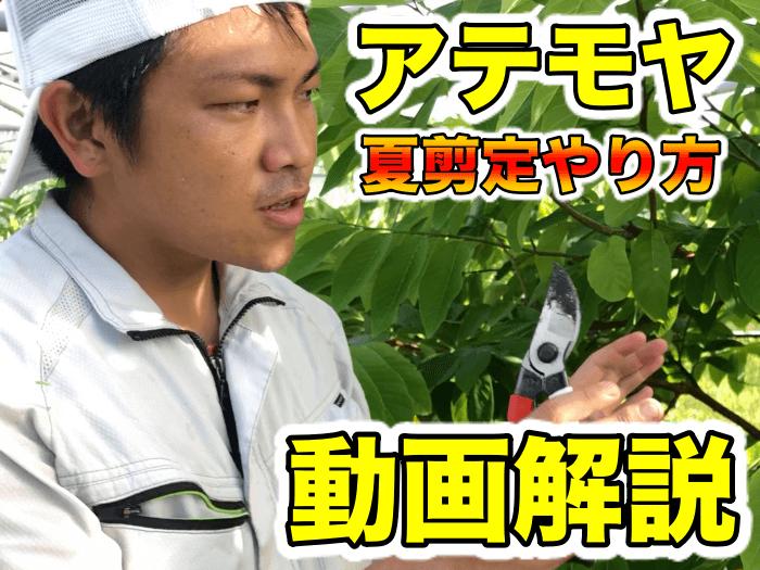【アテモヤ栽培7】花を咲かせる!夏の剪定と理屈,果実の付きをよくする期間【動画解説】