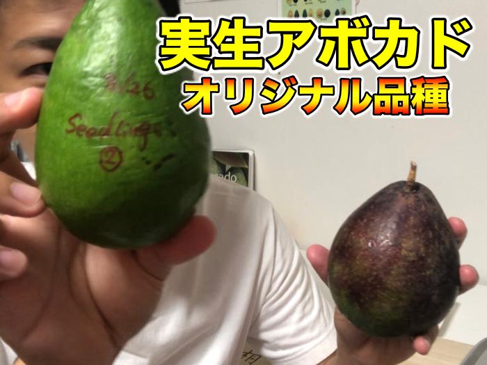 【アボカド栽培40】種から4年目の実生アボカドの食レポ!オリジナル品種の誕生.