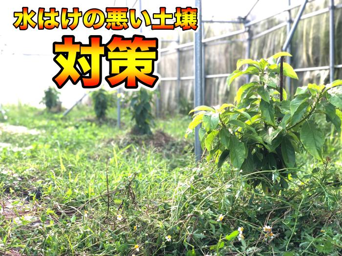 【アボカド栽培41】排水性の悪い土壌で上手く育てる工夫.アボカドの根腐れの対策や研究.