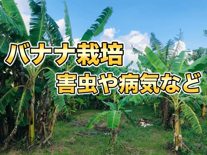 【バナナ栽培】バンチートップウイルス,バナナセセリ,バナナの花について